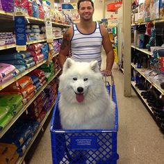 Shopping for a samoyed