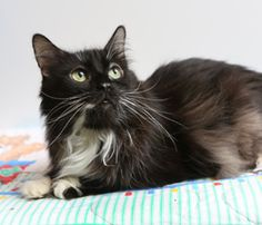 I love him!! such a great boy :) Meet KC! He's a beautiful smoke-colored cat who's waiting for his forever home. He needs to eat a special brand of food, but requires no insulin for his diabetes. Could this handsome, affectionate boy be the companion for you?