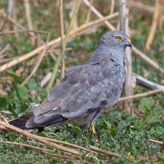Garmoncheg's Photos Blog: Montagu's Harrier male on a cropped rapseed field ...