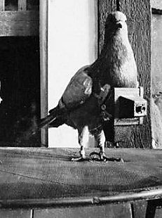 Photographers pigeons for aerial reconnaissance camera aerial photography pigeon 04 photo histoire featured