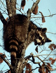 Tennessee State Animal - The raccoon (Procyon lotor) is a furry mammal with a bushy, ringed tail and a mask-like band of black hair around its eyes. Raccoons eat fish and frogs that they catch in rivers and streams. They measure from 30 to 38 inches long and weigh from 12 to 25 pounds.