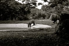 Rhino Play black and white multiple sizes Florida by WinchesterRed, $18.00
