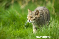 Scottish Wildcat stalking through the grass as photographed on the NaturesLens British Mammals Photo workshop