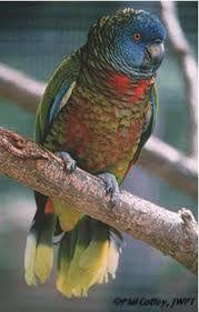 Papagaio de sao vicente