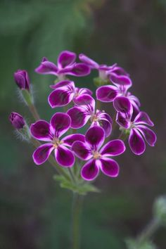 Pelargonium, common name is geranium Unusual Flowers, Amazing Flowers, My Flower, Purple Flowers, Beautiful Flowers, Beautiful Gorgeous, Spring Flowers, Flowers Nature, Nature Photography Flowers