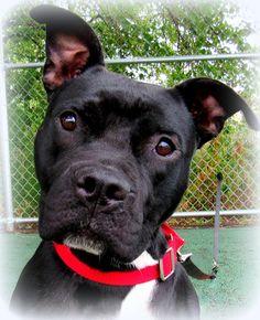 9/19/16 Beth Dog • Black Labrador Retriever & Pit Bull Terrier Mix • Young • Female…
