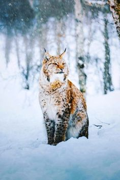"maureen2musings: "" The Eurasian lynx: model extraordinaire mblockk """