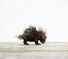 petite porcupine