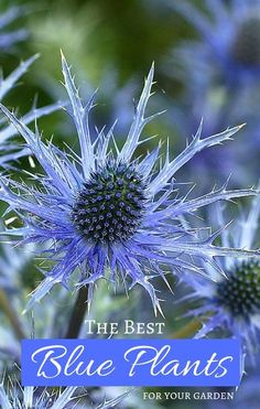Grow True Blue Garden Plants with Blue Flowers, Foliage, and Fruit The Best Blue Plants for Your Garden – the beauty of blue garden plants through flowers, foliage, and fruit. See the plant list for growing a blue garden. Cottage Garden Plants, Fruit Garden, Garden Beds, Blue Plants, Fruit Plants, Flower Garden Plans, Cactus Y Suculentas, Xeriscaping, Blue Flowers