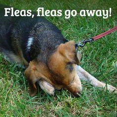 Fleas can be notoriously difficult to get rid of even with harsh chemicals and pesticides. If youre looking for a natural method follow these three steps to kill the fleas and eggs on your pet and prevent them from returning.