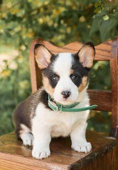 #WelshCorgi #Pembroke #Charming #PinterestPuppies #PuppiesOfPinterest #Puppy #Puppies #Pups #Pup #Funloving #Sweet #PuppyLove #Cute #Cuddly #Adorable #ForTheLoveOfADog #MansBestFriend #Animals #Dog #Pet #Pets #ChildrenFriendly #PuppyandChildren #ChildandPuppy #LancasterPuppies www.LancasterPuppies.com Puppies For Sale, Cute Puppies, Pembroke Welsh Corgi Puppies, Lancaster Puppies, Animals Dog, Mans Best Friend, Puppy Love, Cuddling, Pets