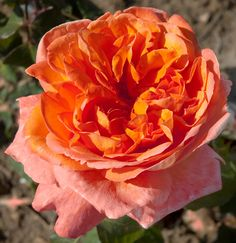 Rene Goscinny Meilland 2005. Strong fragrance apricot and mango. David Austin roses & other (scented) garden roses available @ www.parfumflowercompany.com