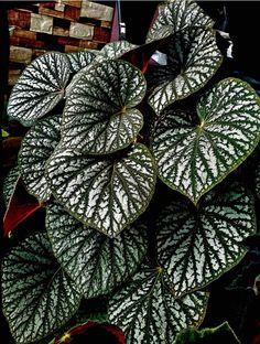 Terrarium Plants, Garden Plants, Indoor Plants, House Plants, Exotic Plants, Tropical Plants, Begonia, Planting Succulents, Planting Flowers