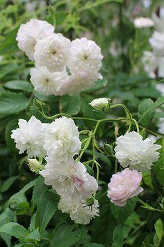 Hybrid Multiflora Noisette Rambling Rose: Rosa 'Laure Davoust' (France, 1834)