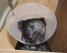 Georgie suffered trauma 2 both eyes the left cornea ruptured on the left eye,The right wasn't treated while 3 days at vet she goes back again on 6/17/14. She has a fund razor to help cover the cost of bad vetting and her eye removal +meds for the right eye if you'd like to help donate and share with friends who love animals thanks.....................http://www.youcaring.com/pet-expenses/help-georgie-bad-vetting-caused-lost-of-eye-sight-in-1-eye/186200