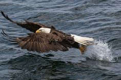 Canadian Wildlife by Andreas Leonhardt on 500px American Bald Eagle