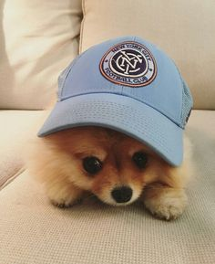 Puppies and hats #Pomeranian