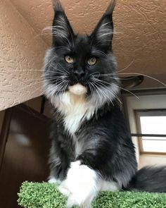 Cats With Cucumbers Cute Cats And Kittens, I Love Cats, Kittens Cutest, Animals And Pets, Baby Animals, Siberian Cats For Sale, Cat With Blue Eyes, Maine Coon Kittens, Forest Cat