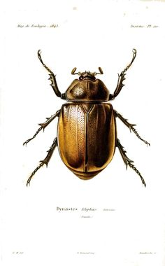 Animal - Insect - Beetle type bug 2, French 19th C mod - Vintage - Natural History - Botanical - Scientific - Print - Bug - Insect