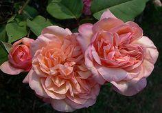 Clementina Carbonieri Rose