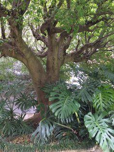 Ficus sp