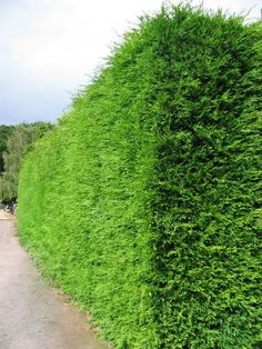Leylandii Hedge- Leylandii is a conifer that is the fastest –growing, evergreen, hedging plant and will create a hedge quickly.  Because it is fast growing, it is generally the cheapest way of forming an evergreen hedge and hence the most popular.