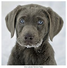 silver labrador retrievers | Silver Labrador Retriever Puppy | Blog de l'Ideal Studio