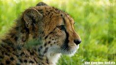 guepard parc des félins