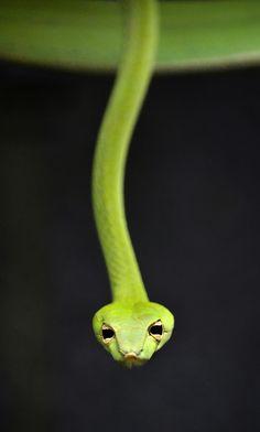 Ssssssister ac-Vine snake t (by Stinkersmell)