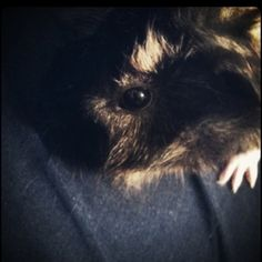 Guinea pig named Puppy #Andersonpets