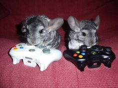 These chinchillas love playing on their Xbox.