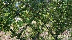 P1130789 | by UBCgarden Espalier Fruit Trees, Explore, Garden, Plants, Garten, Lawn And Garden, Gardens, Plant, Gardening