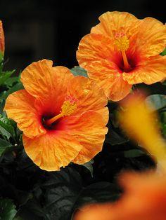 Orange hibiscus http://flowersgifts.labellabaskets.com faragmoghaddassi@yahoo.com