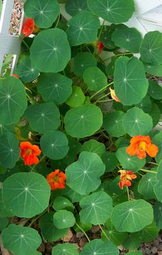 The Nasturtiums I planted are finally a few inches tall, can't wait to add them to salad - AH