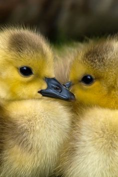 2 Yellow Ducklings Closeup