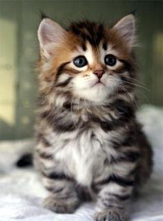 Pretty tabby kitten