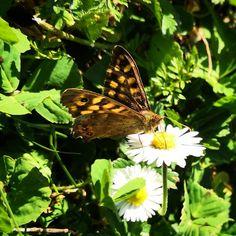 Tircis  #papillon #butterfly #spring #tircis #igersfrance #igersnouvelleaquitaine #igersdeuxsevres #igers #igersniort #garden #jardin #nature #flower  #etod79_79 #etod79_flower #etod79_animals Spring, Butterfly, Album, Instagram, Garden, Flowers, Nature, Animals, Butterflies
