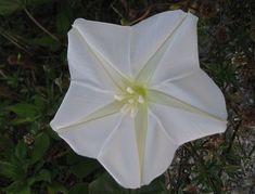 How to Grow Moonflower, and other Calonyction Plants. Moonflowers have trumpet like flowers and bloom at night in the summer. Partial Shade Plants, Sun Loving Plants, Moonflower, Climbing Vines, Hardy Perennials, Types Of Soil, Tropical Plants, Trellis, Bloom
