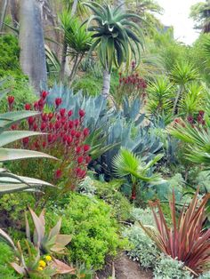 I love this combination! The red Leucadendron, possibly 'Winter Red' and the Phormium  really pop among the greens and blues of the agave, aloes, and palms.
