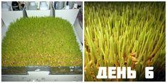 Проращивание семян в домашних условиях - здоровый и интересный способ заменить овощи и зелень, и привнести натуральные витамины и минералы в рацион в зимний период. Проросшая пшеница, ячмень, овес, греча или бобовые - подойдут для употребления в пищу, как для людей, так и в корм для животных.