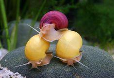 Pomacea diffusa AKA mystery snail