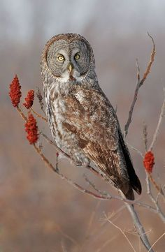 Great Gray Owl by Kurt Budliger on / birds on imgfave Beautiful Owl, Animals Beautiful, Strix Nebulosa, Great Grey Owl, Owl Photos, Owl Art, Birds Of Prey, Nocturne, Wild Birds