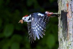 Middle Spotted Woodpecker on the fly woodpecker Pictures Of Spring Flowers, Flower Pictures, Meadow Flowers, Wild Flowers, Buse Variable, Spotted Woodpecker, Photo Images, Blooming Plants, Beautiful Birds