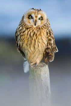 Short-eared Owl (Velduil) by Denis Bitter, via Flickr Beautiful Owl, Animals Beautiful, Cute Animals, Owl Photos, Owl Pictures, Owl Bird, Pet Birds, Short Eared Owl, Baby Owls