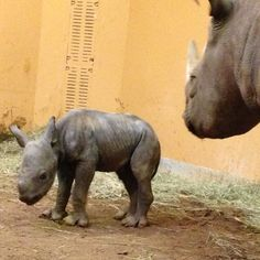 Critically endangered eastern black rhinos may be on the fast-track to extinction in Africa, but in Atlanta, Ga., their numbers just grew by one.