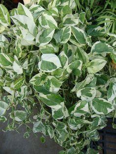 Epipremnum pinnatum 'Njoy'