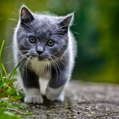 animals kittens cutest, pretty cats e cats. Cute Cats And Kittens, I Love Cats, Crazy Cats, Kittens Cutest, Funny Kittens, Animals And Pets, Baby Animals, Funny Animals, Cute Animals