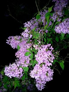 The lilacs have exploded!  I could smell them on the front porch last night! These bushes were planted by David's Great Grandmother almost 100 years ago.