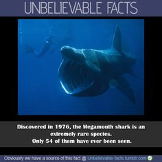 Megamouth Shark.thats a basking shark it migrates around england. A BRITISH SHARK