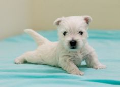 West Highland white terriers, also known as Westies, are famous for a white coat and outgoing, friendly personality. They are loving and need daily brushing. These Scottish dogs enjoy chasing balls and digging.